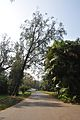 Acharya Jagadish Chandra Bose Indian Botanic Garden - Howrah 2011-01-08 9835.JPG