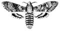 Acherontia atropos, Nordisk familjebok.png