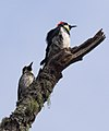 Acorn woodpeckers on Angel Island (40126).jpg