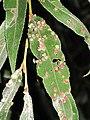 Aculus tetanothrix (Acari sp.) gall, Arnhem, the Netherlands.jpg