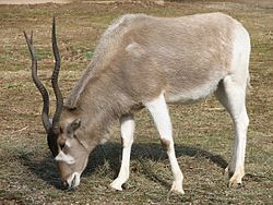 Addax at the Louisville Zoo.jpg
