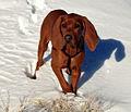 Adolescent Redbone Coonhound in the snow.jpg