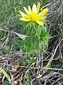 Adonis vernalis sl36.jpg