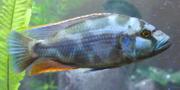 Adult male livingstonii