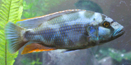 Adult male livingstonii
