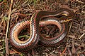 Adult male rainbow snake - Virginia.jpg