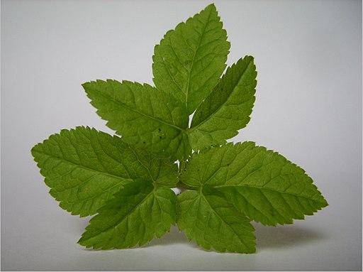 Aegopodium podagraria leaf