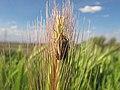 Aelia - Chinche de los cereales (13994791381).jpg