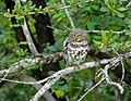 African Barred Owlet (Glaucidium capense) (13584244955).jpg