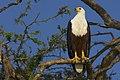 African Fish Eagle AdF.jpg