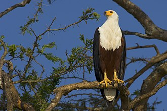 African fish eagle - Lake Mburo, Uganda