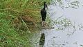 African Openbill (Anastomus lamelligerus) (6025259693).jpg