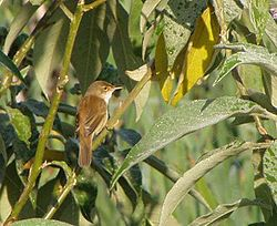 African Reed Warbler (Acrocephalus baeticatus) from behind, looking to the right.jpg