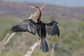 African darter (Anhinga rufa) drying wings.jpg