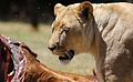 African lion, Panthera leo feeding at Krugersdorp Game Park, South Africa (29443419814).jpg