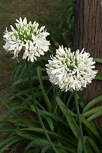 Agapanthus africanus white.JPG