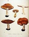 Agaricus fastibilis — Flora Batava — Volume v20.jpg