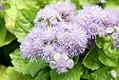 Ageratum houstonianum Blue Puffs 0zz.jpg