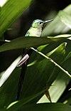 Aglaiocercus kingi