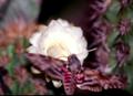 Agrius cingulatus em Pilosocereus gounellei EARMLucena2007.png