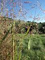 Agrostis stolonifera (7641719932).jpg
