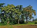 Ailanthus altissima 001.JPG
