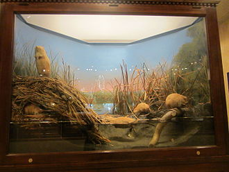 """Carl Akeley - """"Muskrat Group"""", one of Akeley's early works for the Milwaukee Public Museum"""