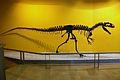 Al·losaure (Allosaurus fragilis) al Museu de Ciències Naturals de València.JPG