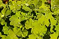Alchemilla vulgaris with raindrops.jpg
