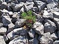 Aleppokiefer (Pinus halepensis) - Calanques.jpg