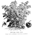 Alkékenge jaune doux Vilmorin-Andrieux 1904.png