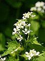 Alliaria petiolata (26774284347).jpg
