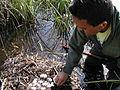 Alligator Research (1), NPSPhoto (9247523055).jpg