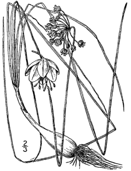 Allium allegheniense drawing.png
