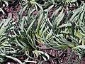 Allium senescens var glaucum Czosnek sinawy 2017-04-09 01.jpg