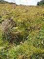 Allium vineale L. (AM AK299607-3).jpg