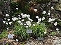 Allium zebdanense - Botanischer Garten München-Nymphenburg - DSC07657.JPG
