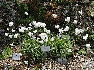 Allium zebdanense - Image: Allium zebdanense Botanischer Garten München Nymphenburg DSC07657