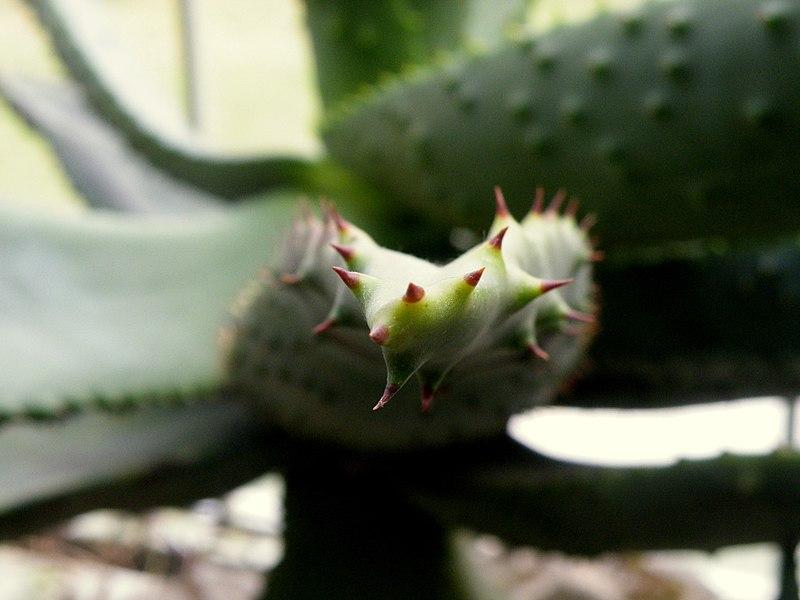 File:Aloe ferox (13).jpg