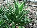 Aloe nobilis-Side.jpg