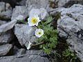 Alpen-Hahnenfuss (Blätter?) - Übergang zum Biberkopf - 3. Tag (9800534874).jpg