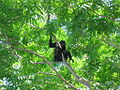 Alpha Male Howler Monkey - Costa Rica.JPG
