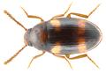 Alphitophagus bifasciatus (Say, 1824) (10035927896).png