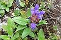 Alpine flora (Mit) (37174847174).jpg
