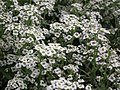 Alyssum or Lobularia maritima from Lalbagh flower show Aug 2013 8193.JPG