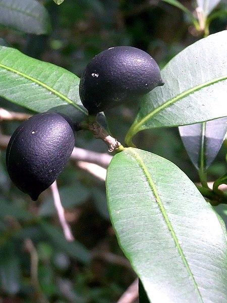 Alyxia squamulosa