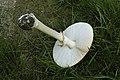 Amanita.muscaria2.-.lindsey.jpg