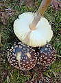 Amanita pantherina (31712437486).jpg