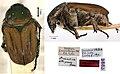 Amaurina vittipennis (10.3897-zookeys.814.32059) Figure 11.jpg