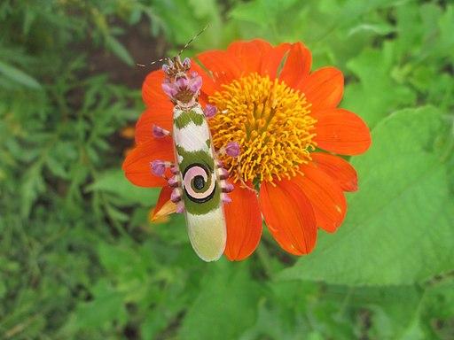 Amazing bug3-Spiny flower mantis (Pseudocreobotra wahlbergi)